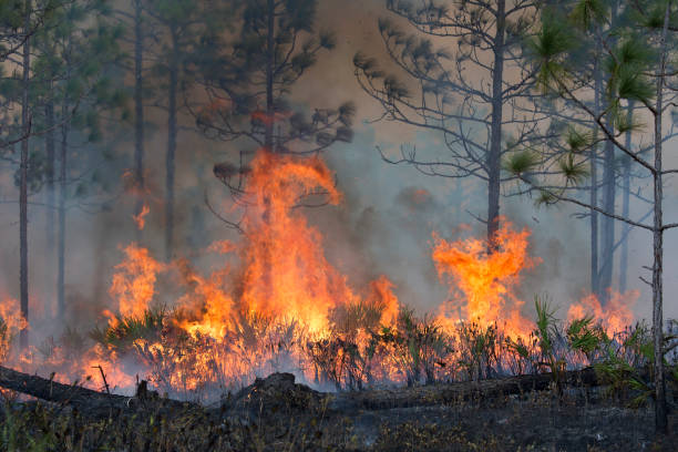 Controlled Forest Fire stock photo