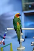A conure parrot was on a wooden perch. In the room
