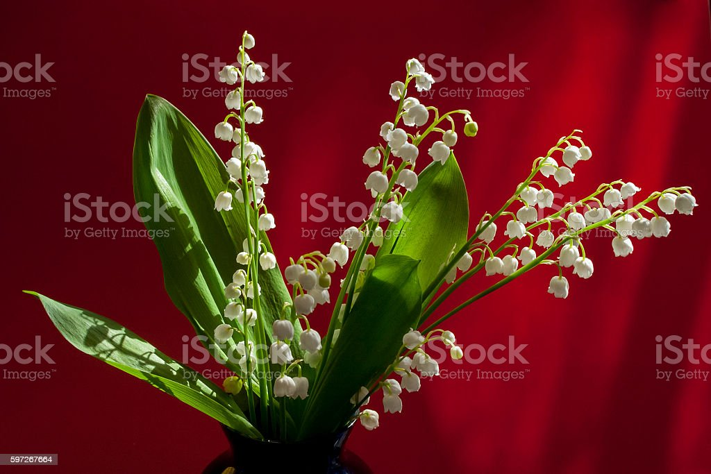 Convallaria majalis bouquet of flowers on a red background royalty-free stock photo