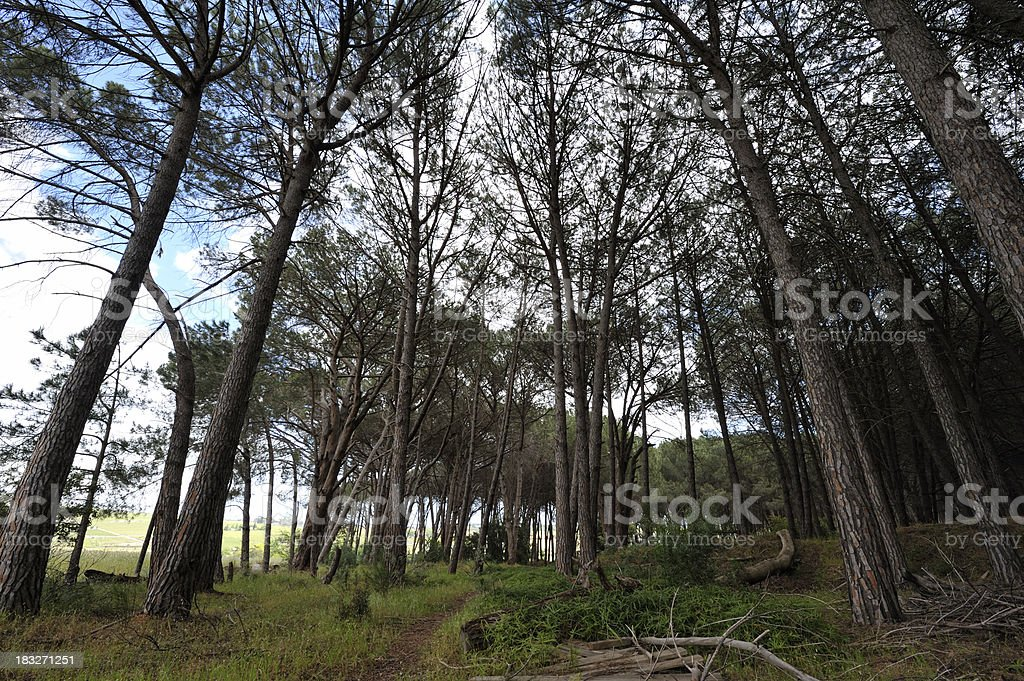 Converging trees in pine forest stock photo