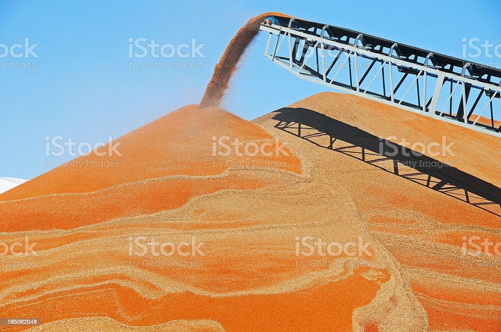 Conveyor belt dumping surplus sorghum onto pile royalty-free stock photo