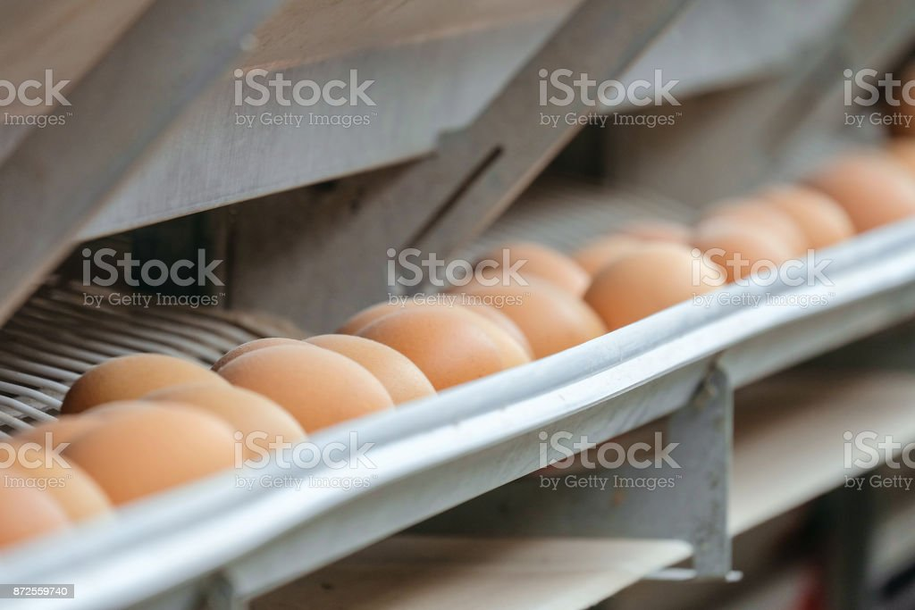 Conveyor production line of chicken eggs of a poultry farm. Agriculture background with limited depth of field. stock photo