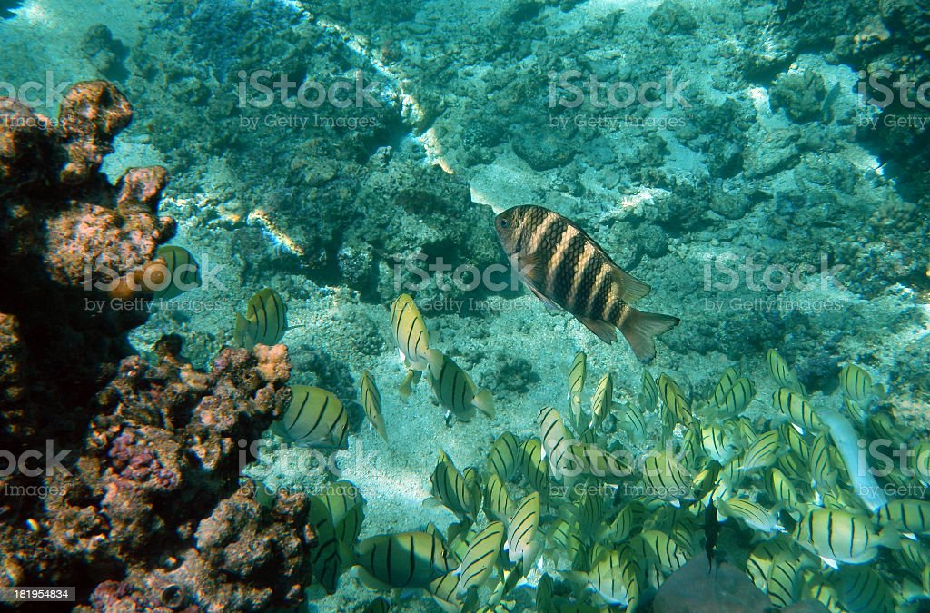 Convict fish in a lagoon on the island of Moorea royalty-free stock photo
