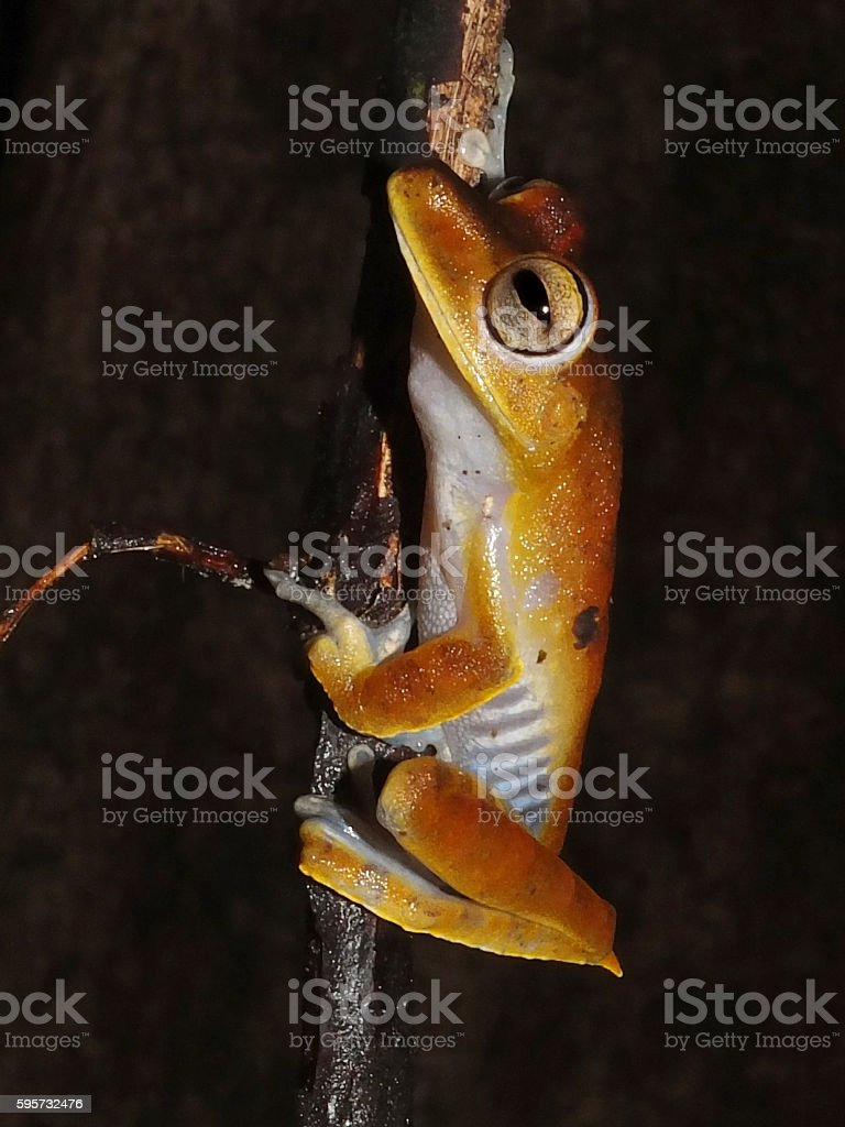 Convict tree frog at night stock photo