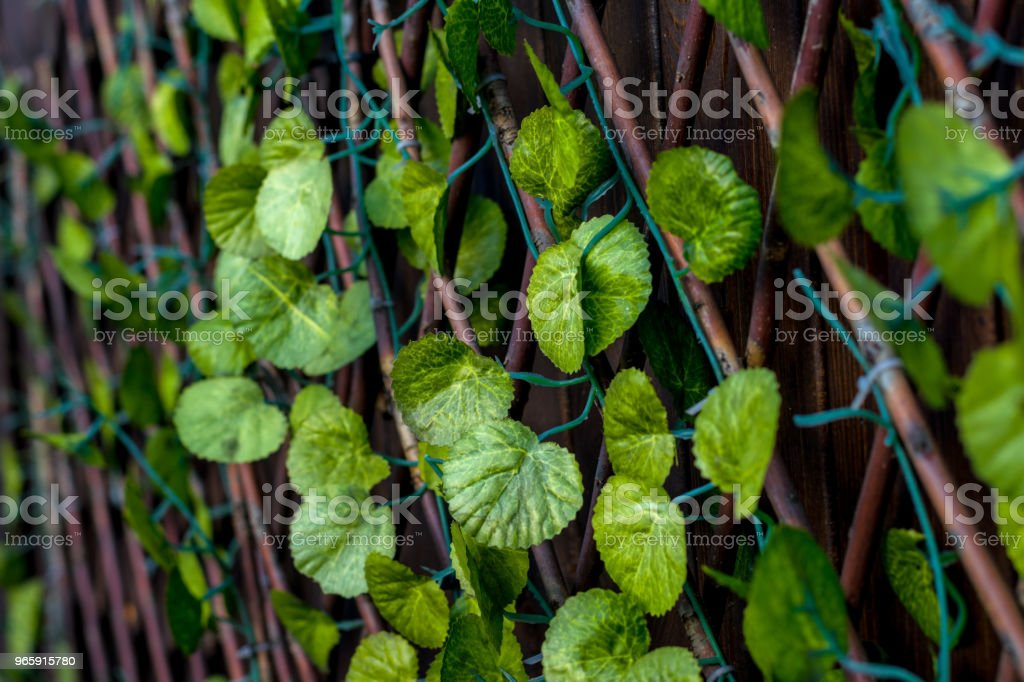 Convolvulaceae, loach, artificial plant, green leaves of the creeper - Royalty-free Brick Stock Photo
