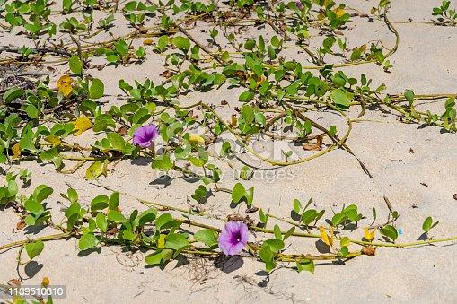 Convolvulus flower on a Thailand beach.