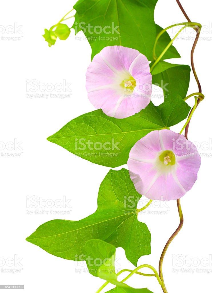 Convolvulus flowers royalty-free stock photo