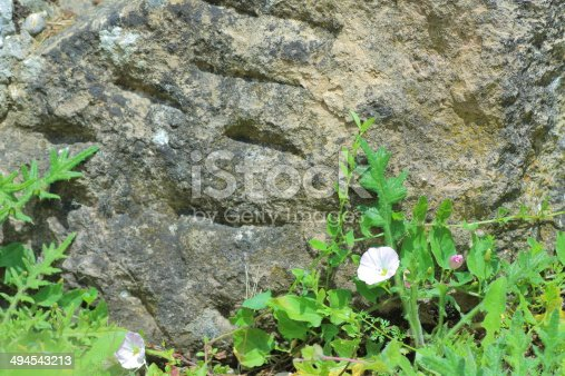 Convolvulus plant and flower, clambering on rock background.