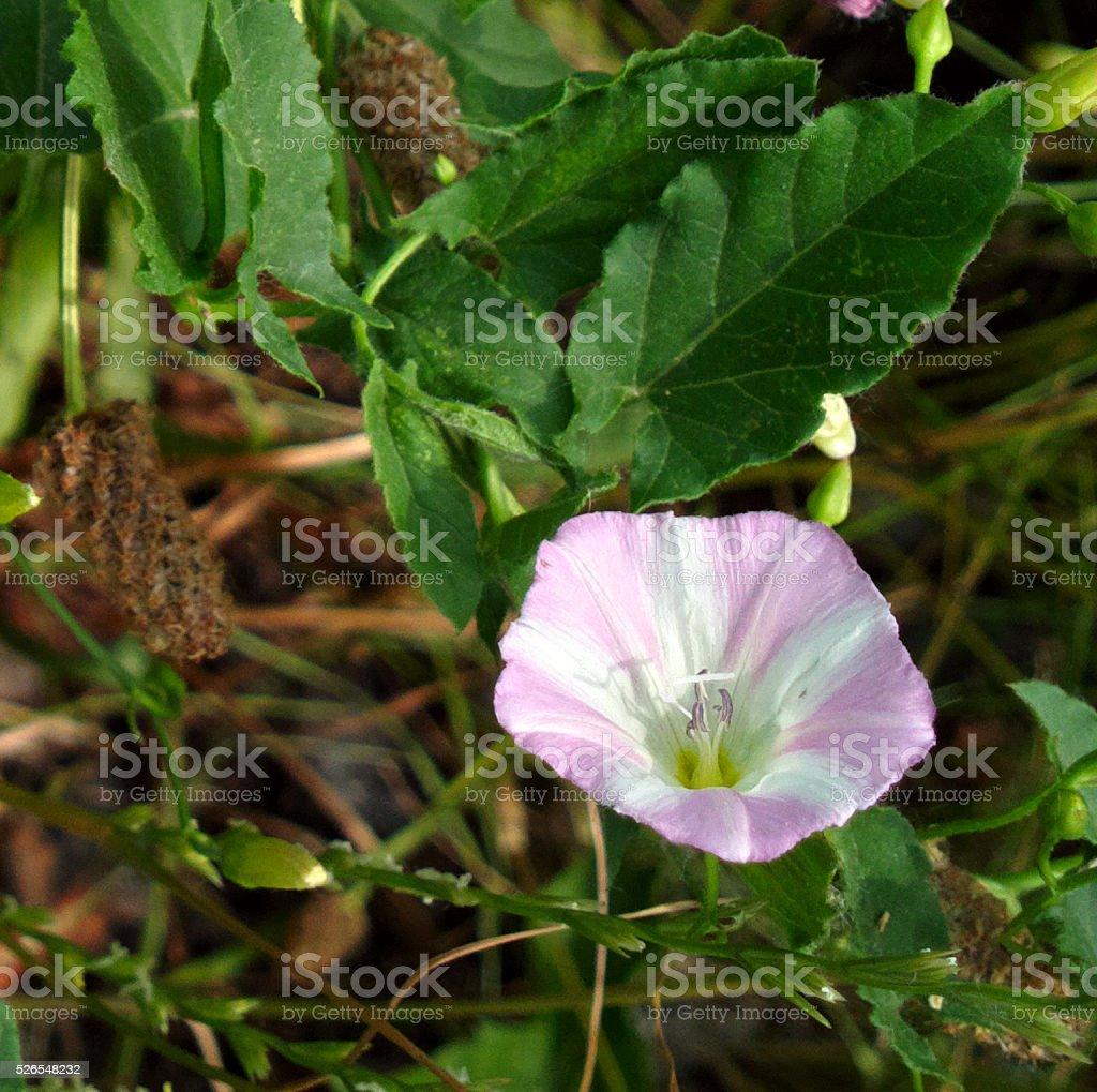 Convolvulus. stock photo