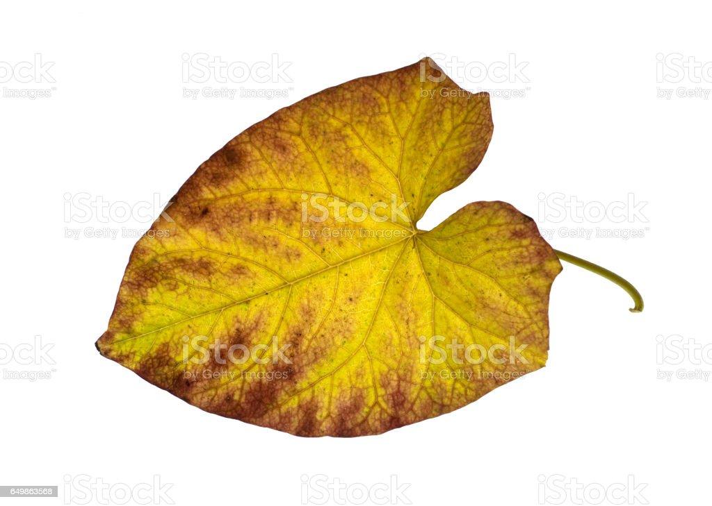 Convolvulus; pulcher, leaves in autumn stock photo