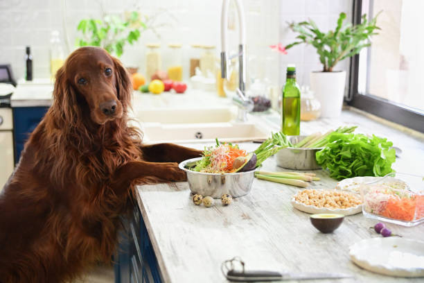 Cooking vegetarian food for Pets. In interior. Cooking vegetarian food for pets. In the interior. irish setter stock pictures, royalty-free photos & images