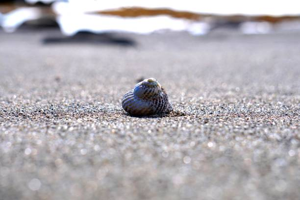 Cook's Turban Shell on the Beach stock photo