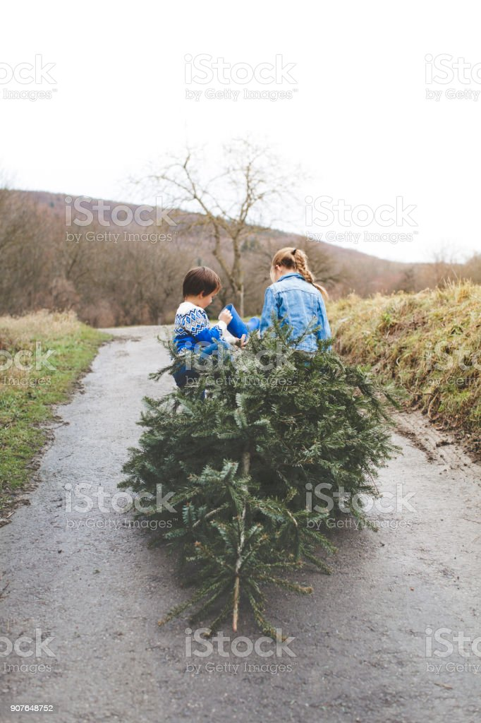 cool brother and sister are pulling an old christmas tree for knut stock photo