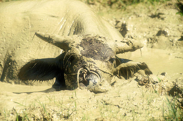 Cool Büffel – Foto