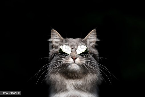 funny studio portrait of a blue tabby maine coon cat wearing sunglasses looking cool isolated on black  background
