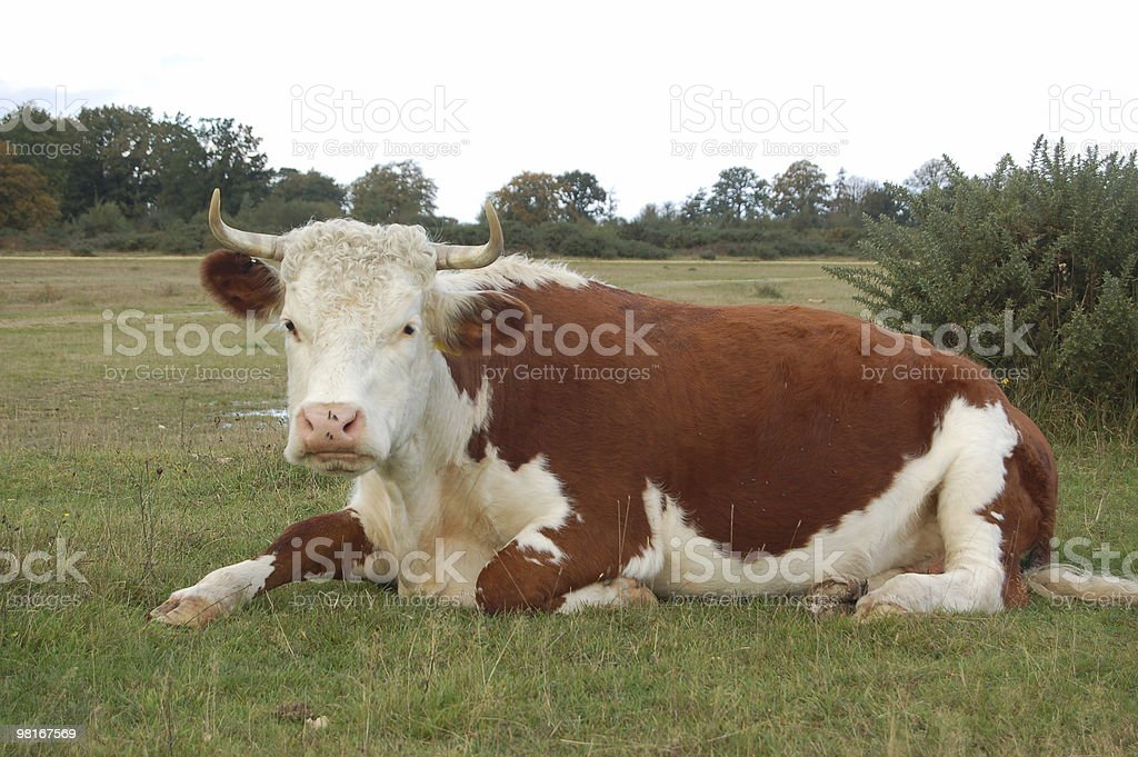 Cool cow royalty-free stock photo