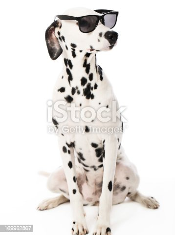 Portrait of a purebred Dalmatian with sunglasses http://bit.ly/16Cq4VM