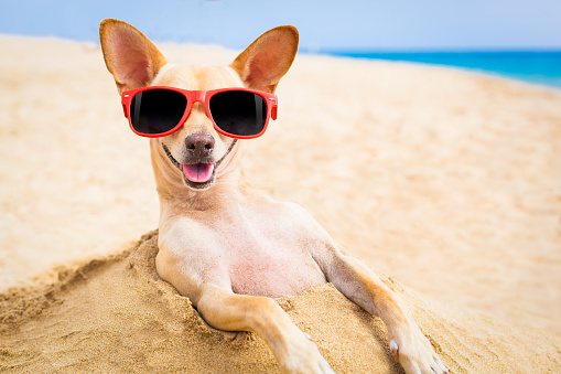 531058808 istock photo cool dog at the beach 518705245