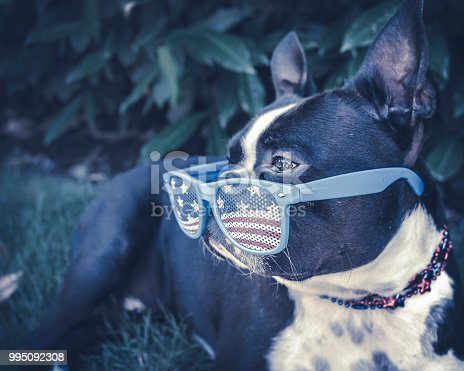 509363072 istock photo Cool Dog Chilling in Shade Wearing USA Glasses 995092308