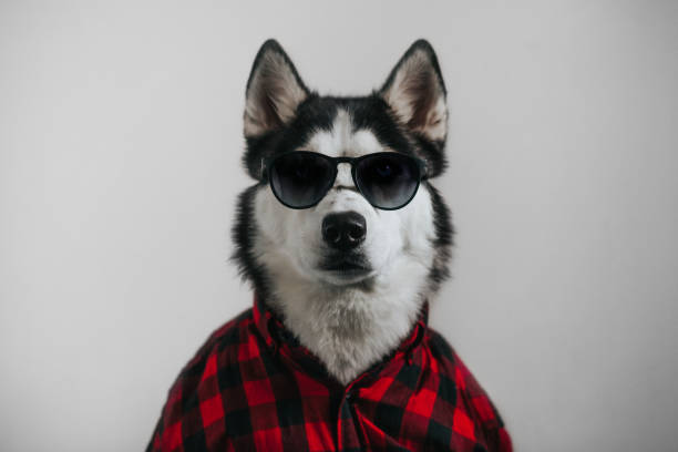 Cool dog Funny dog in sunglasses and shirt  clothes fashionable husky dog stock pictures, royalty-free photos & images