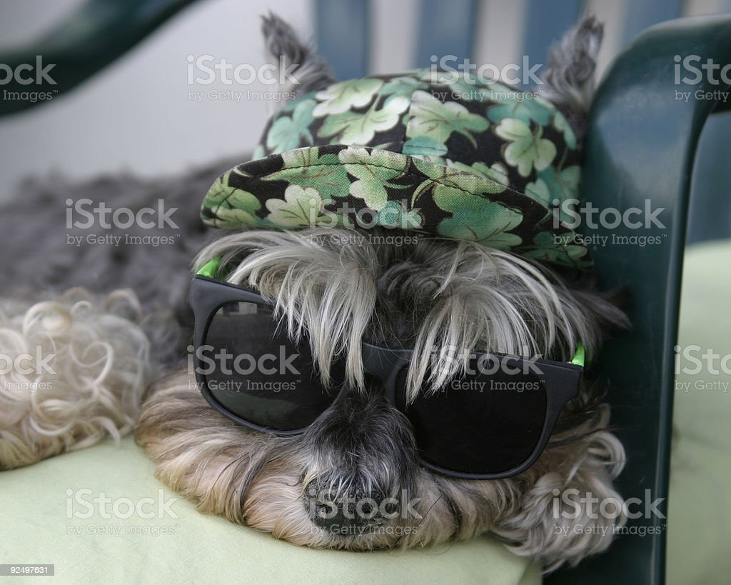 Cool Dog wearing sunglasses royalty-free stock photo