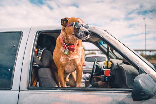 Cool dog wearing colorful sunglasses looking out of pick-up truck window on highway parking, enjoying the ride on american highway.