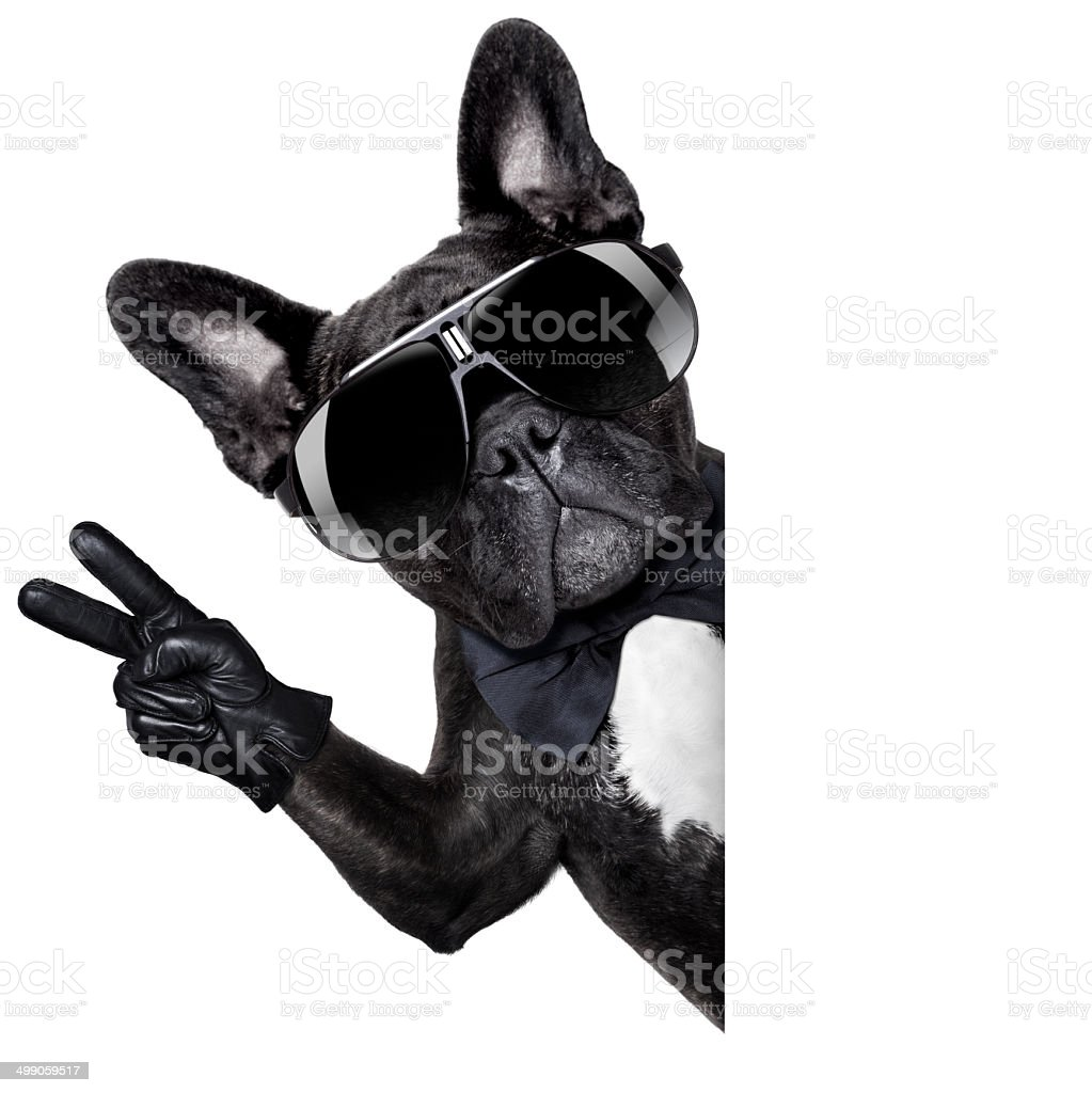 Cool french bulldog stock photo