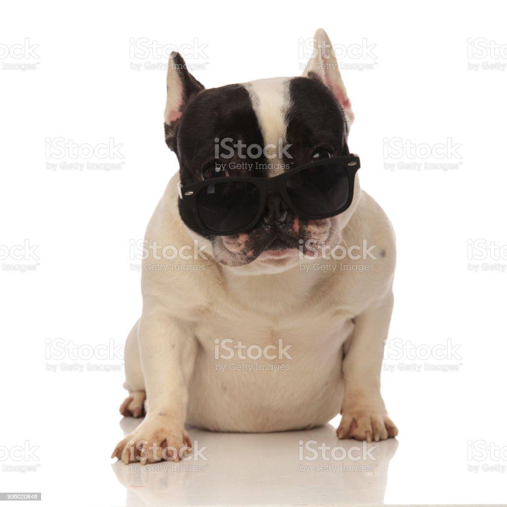 bc80eda6ea cool bouledogue français avec lunettes de soleil glisse vers le bas du nez  photo libre de
