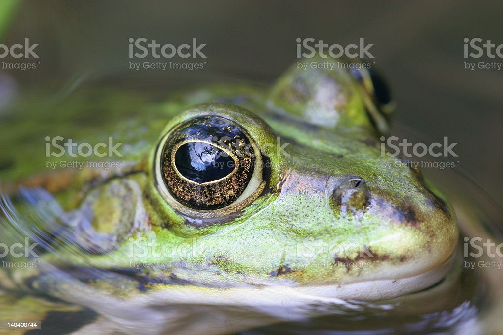 cool green frog royalty-free stock photo