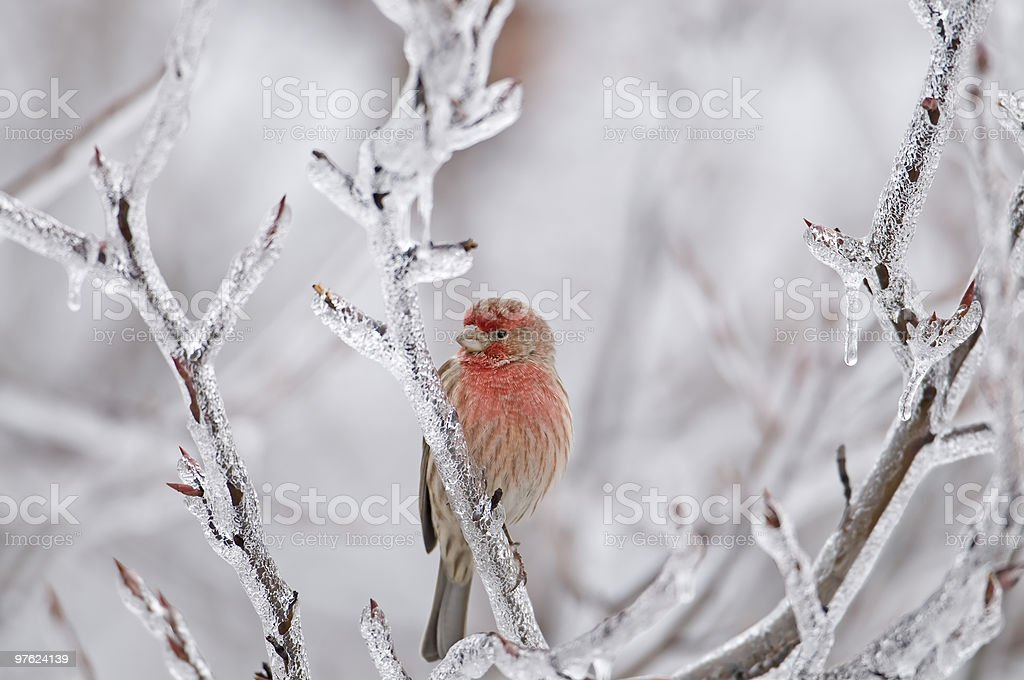 Cool House FInch royalty-free stock photo