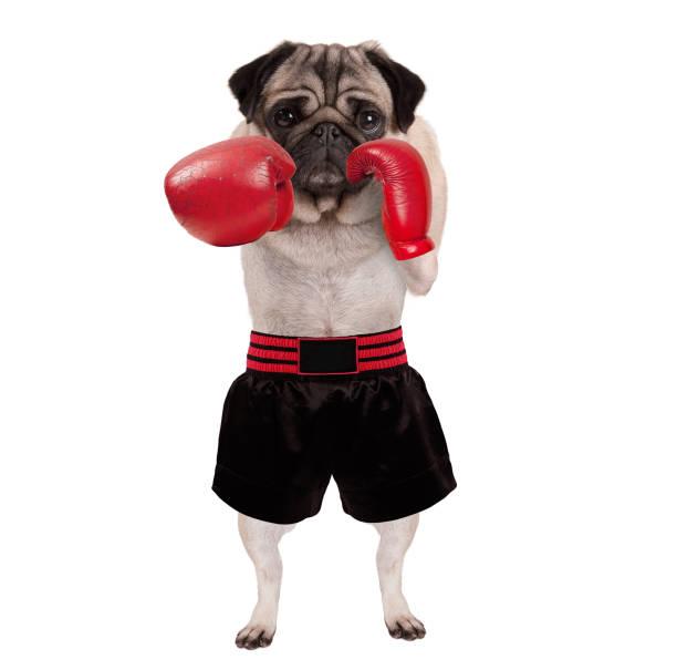 kırmızı deri boks eldiveni ve şort ile delme serin ayakta pug köpek boxer - k logo stok fotoğraflar ve resimler