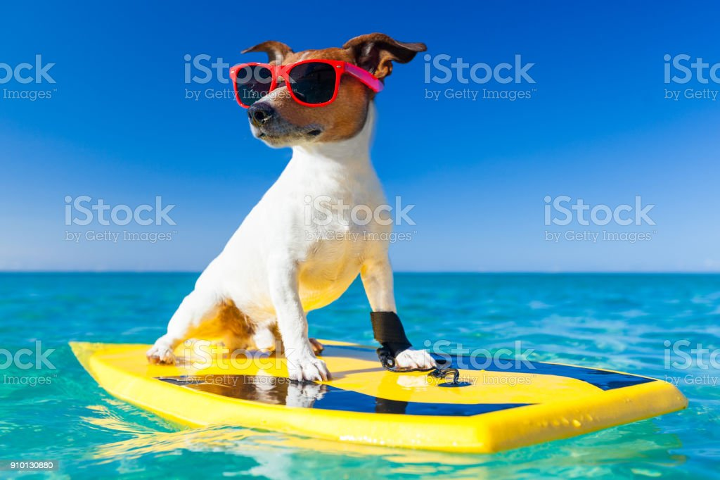 jack russe dog surfing on a surfboard wearing sunglasses at the ocean...