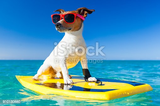jack russe dog surfing on a surfboard wearing sunglasses  at the ocean shore, very cool