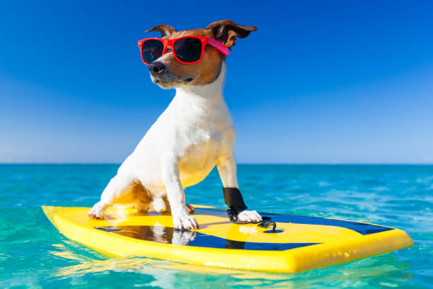 coole sommer surfer hund - wassersport stock-fotos und bilder