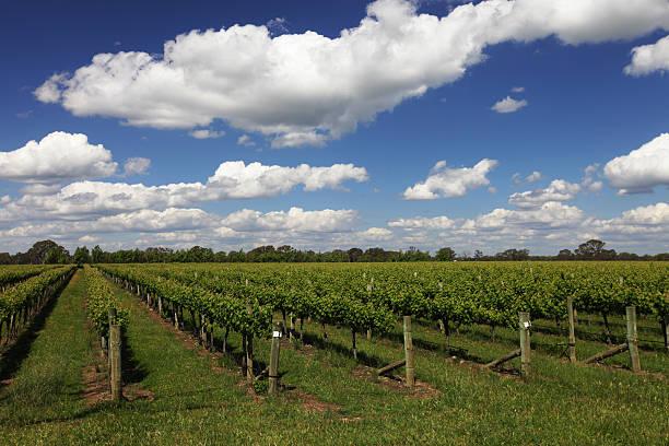 Coonawarra Vines stock photo