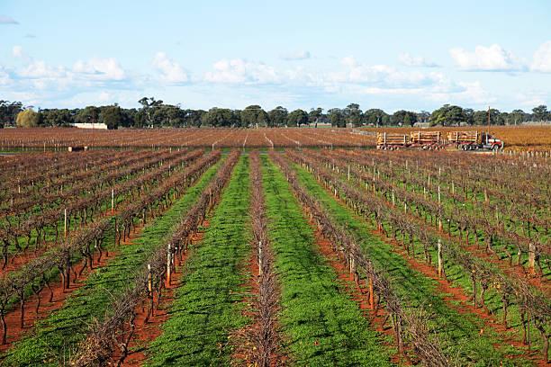 Coonawarra vineyard stock photo