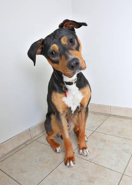 coonhound und labrador retriever mischling hund warten angenommen werden - hunde aus dem tierheim stock-fotos und bilder