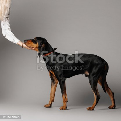 coonhound dog posing on grey background in the studio