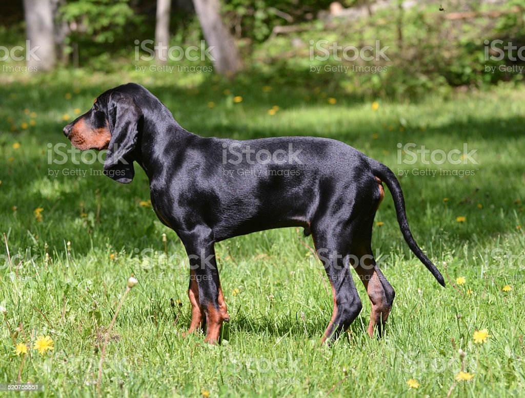 coonhound stock photo