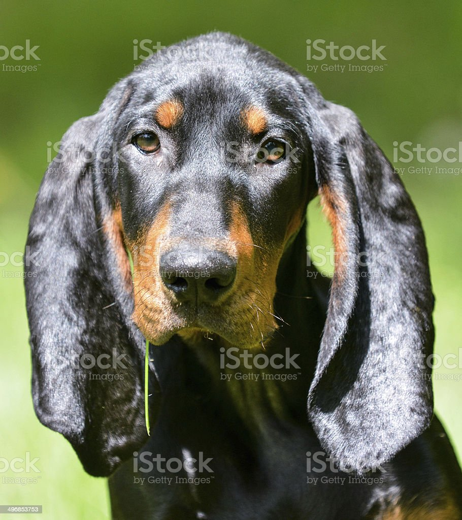 coonhound portrait stock photo