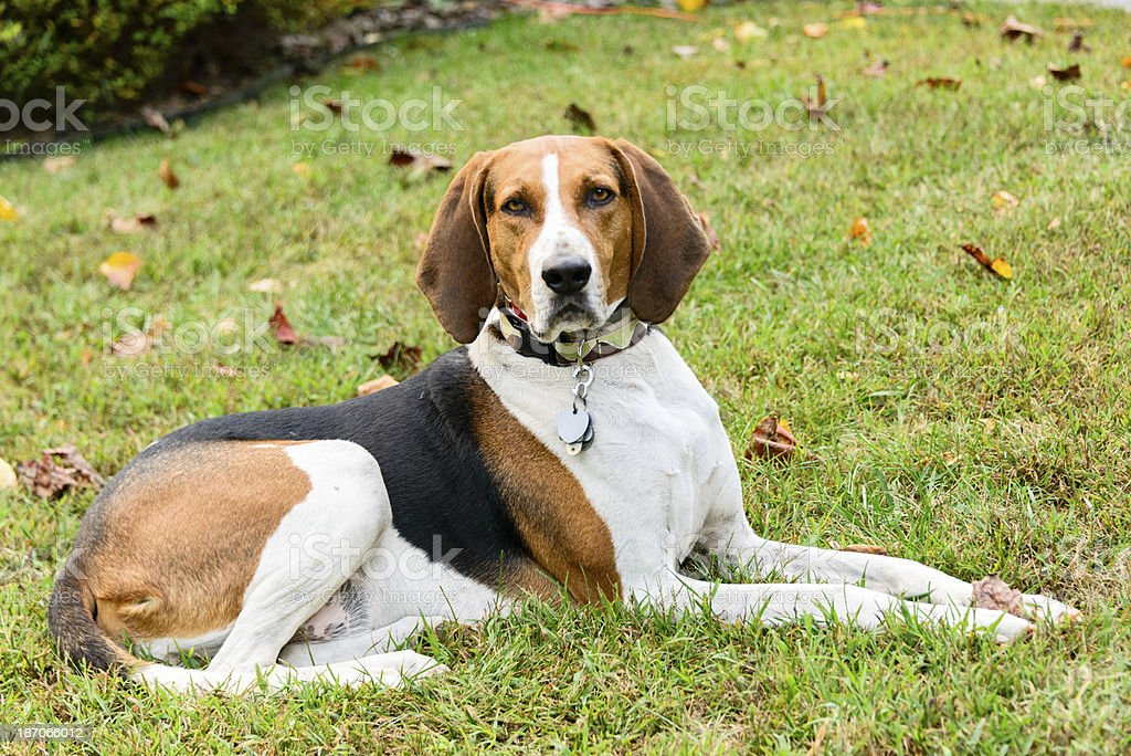 Coonhound sitting on a lawn -XXXL stock photo