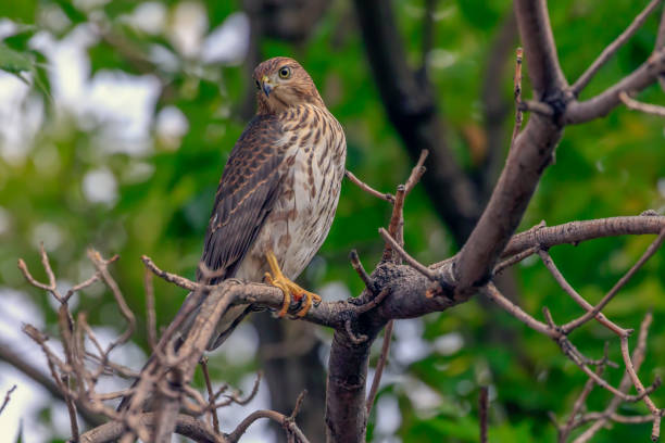 cooper's hawk, accipiter cooperii, perched in a tree. - falcon bird stock photos and pictures