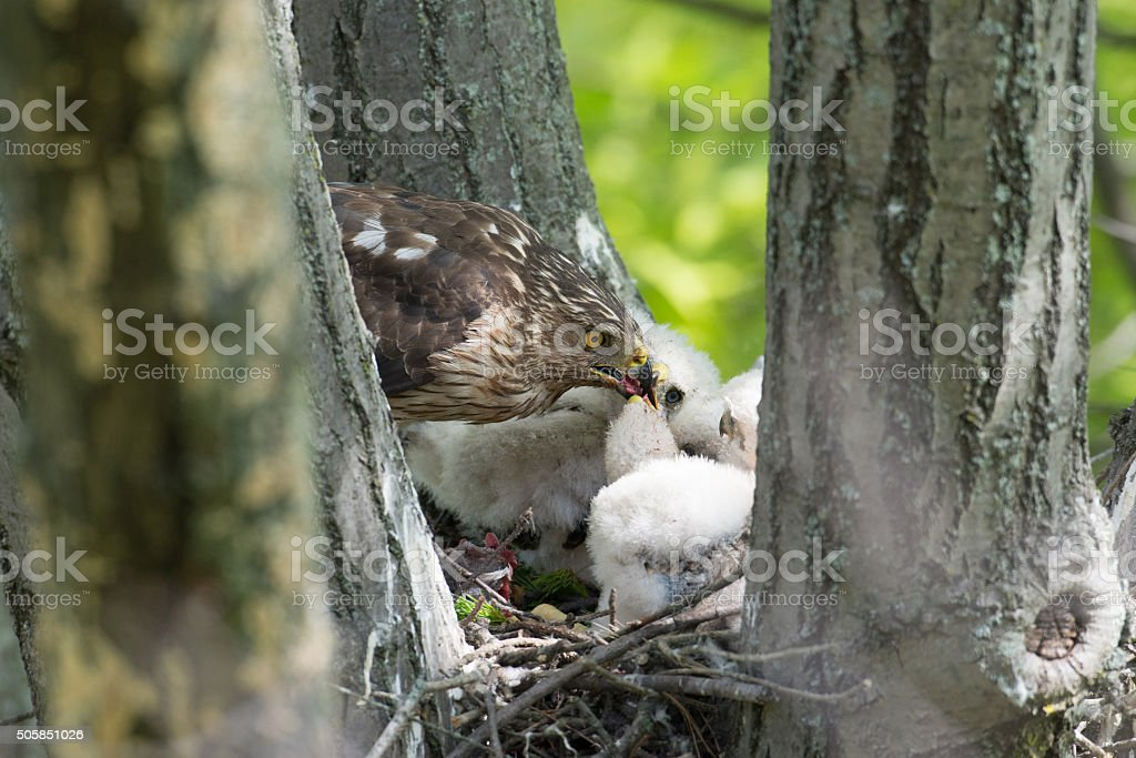 Cooper-s hawk feeding chicks stock photo