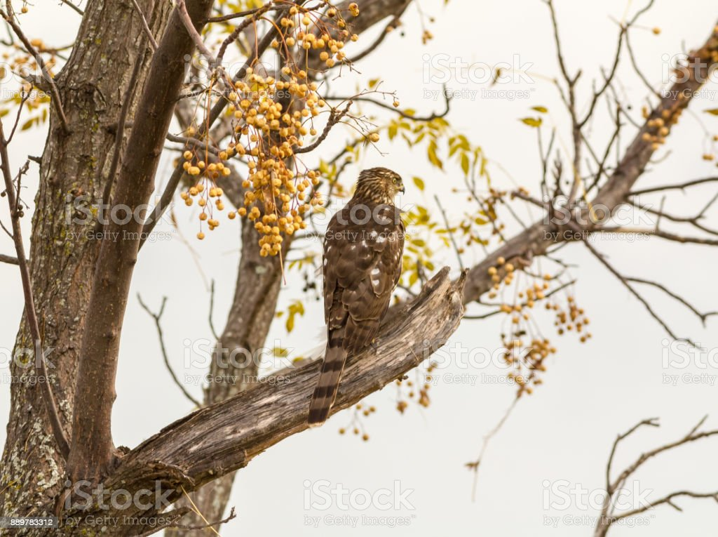 Coopers Hawk (Accipiter cooperii) - Immature stock photo