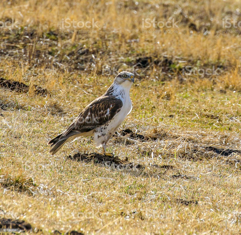 Cooper's Hawk in a field. Northern Nevada near Genoa. stock photo