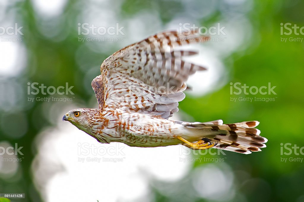 Cooper's Hawk in Flight stock photo