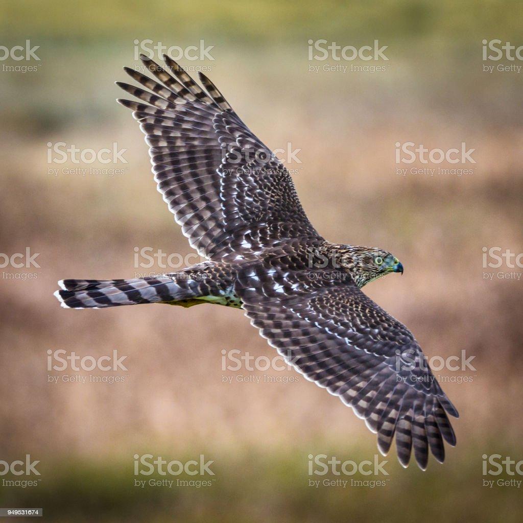 Cooper's Hawk In Flight stock photo