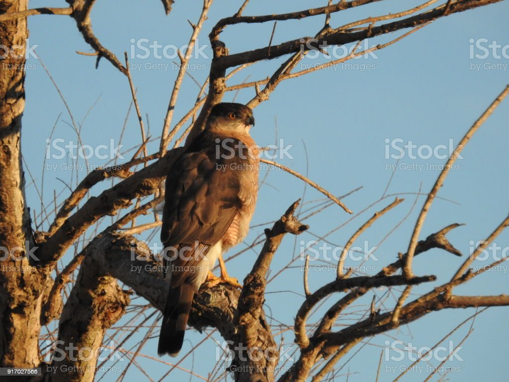 Cooper's Hawk in the Treetops stock photo