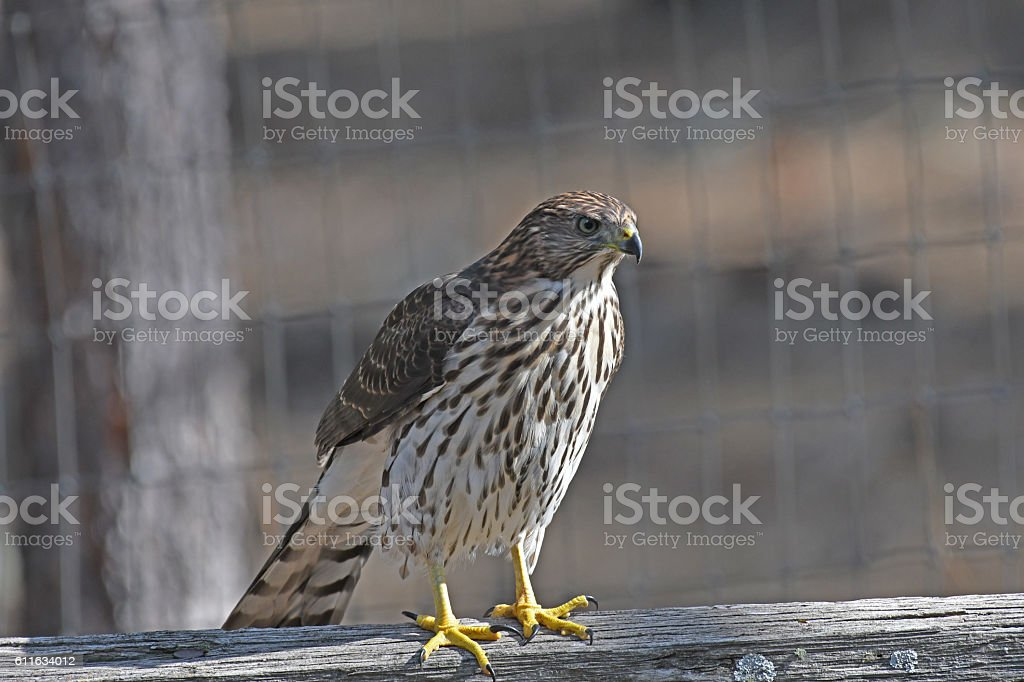 Cooper's Hawk perched on split rail fence stock photo