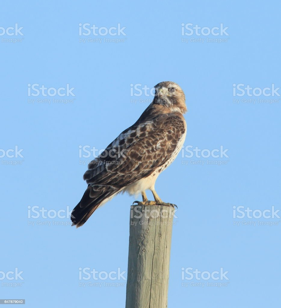 Coopers Hawk stock photo